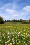 Sommerblumenwiese Lizenzfreies Stockfoto
