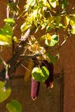 Sommerfarben von Mais in einem Alsacian-Dorf lizenzfreie stockfotografie