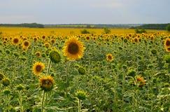 Sommerfeld der Sonnenblumen Lizenzfreies Stockfoto