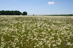 Sommerfeld mit Gänseblümchen Stockfotografie