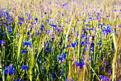 Sommerfeld mit Kornblumen Stockbilder