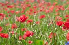 Sommerfeld mit Mohnblumen stockbilder
