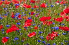 Sommerfeld mit Mohnblumen Stockbild