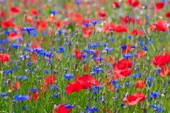 Sommerfeld mit Mohnblumen stockfotos