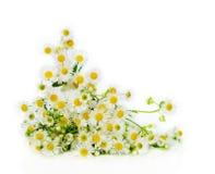 Sommergänseblümchen Stockfotografie