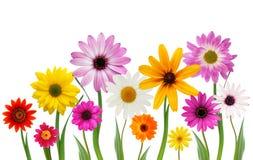 Sommergänseblümchen Stockbilder