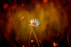 Sommergänseblümchen Stockfotos