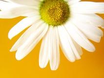 Sommergänseblümchengelb Stockfotografie