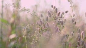 Sommergrasblumen schließen oben auf dem Gebiet mit Sonnenunterganghintergrundbeleuchtung der leichten Brise, Transportwagenschuß, stock video