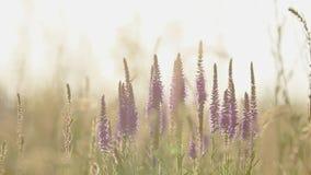 Sommergrasblumen schließen oben auf dem Gebiet mit Sonnenunterganghintergrundbeleuchtung der leichten Brise, Transportwagenschuß,