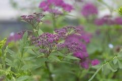 Sommerhintergrund des Grases und der Blumen Spiraea japonica Lizenzfreie Stockbilder