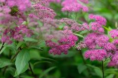 Sommerhintergrund des Grases und der Blumen Spiraea japonica Stockbilder