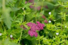 Sommerhintergrund des Grases und der Blumen Spiraea japonica Lizenzfreie Stockfotos