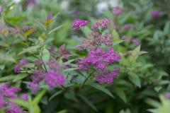 Sommerhintergrund des Grases und der Blumen Spiraea japonica Lizenzfreies Stockfoto