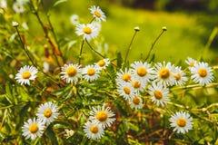 Sommerhintergrund mit Feld von Gänseblümchenblumen Stockfotos