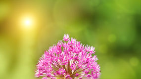 Sommerhintergrund mit rosafarbener Lauchblume in der Frontseite lizenzfreie stockfotos