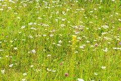 Sommerhintergrundwiese mit Wildflowers Stockbild