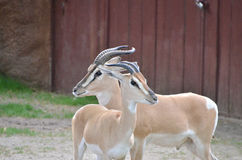 Sommerings gazelle couple Royalty Free Stock Images