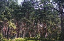 Sommerkiefernwald Stockbilder