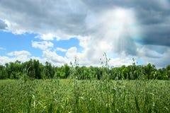 Sommerkorn, das auf einem Bauernhofgebiet wächst lizenzfreie stockfotografie