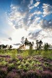 Sommerlandschaft über Wiese der purpurroten Heide während des Sonnenuntergangs Stockbild