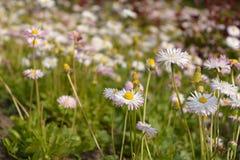 Sommerlandschaft mit einem Feld, einem blauen Himmel und weißen Wolken blüht camomiles auf Wiese Wilde Blumen Lizenzfreie Stockfotografie