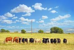 Sommerlandschaft mit glücklichen Kühen Stockbild