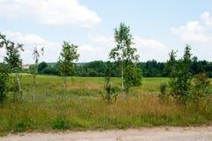 Sommerlandschaft mit jungen Birkenbäumen Stockfotografie