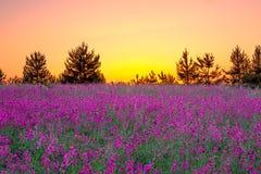Sommerlandschaft mit purpurroten Blumen auf einer Wiese und einem Sonnenuntergang Stockfotos