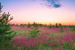 Sommerlandschaft mit purpurroten Blumen auf einer Wiese und einem Sonnenuntergang lizenzfreie stockfotografie