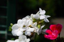 Sommerlandschaft mit wei?en Blumen stockfotos