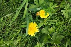 Sommerlandschaft, Park, gelber flaumiger L?wenzahn unter starkem saftigem Gras lizenzfreie stockbilder