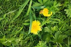 Sommerlandschaft, Park, gelber flaumiger L?wenzahn unter starkem saftigem Gras lizenzfreie stockfotografie