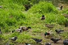 Sommerlandschaft, Park, graue Enten auf dem Teich stockfotos