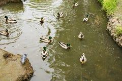 Sommerlandschaft, Park, graue Enten auf dem Teich lizenzfreie stockfotos