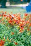 Sommerlilien im Park stockfotos