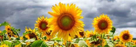 Sommernetzfahne oder -hintergründe mit Sonnenblumen Lizenzfreie Stockbilder