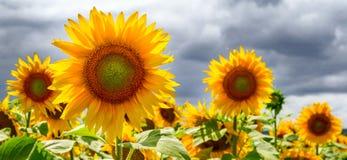 Sommernetzfahne oder -hintergründe mit Sonnenblumen Lizenzfreie Stockfotos