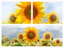 Sommernetzfahne oder -hintergründe mit Sonnenblumen Lizenzfreies Stockfoto