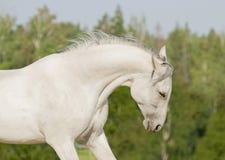 Sommerportrait des weißen Pferds Lizenzfreie Stockfotografie