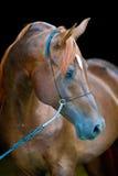 Rotes arabisches Pferdeporträt auf Schwarzem Lizenzfreies Stockbild