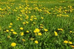 Sommerrasenfläche mit Blütenlöwenzahn lizenzfreie stockfotografie