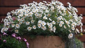 Sommerregen auf Gänseblümchenblumen stock video