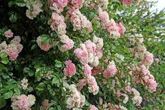 Sommerrosen Stockfoto