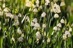 Sommerschneeflockenblumen in der Blüte Lizenzfreie Stockfotografie