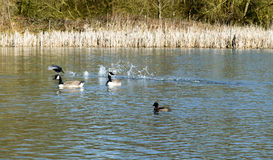 Sommerschwimmen für die kanadischen Gänse und lokale das Vogelleben Stockfotos