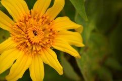 Sommersonnenblume Lizenzfreie Stockfotografie