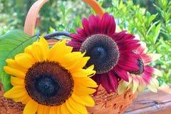 Sommersonnenblumen Stockfotos