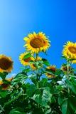 Sommersonnenblumenfeld Lizenzfreie Stockfotos