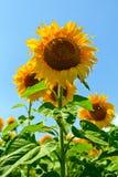 Sommersonnenblumenfeld Stockfotografie